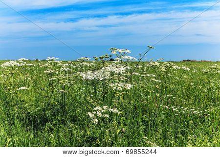 Yarrow in field