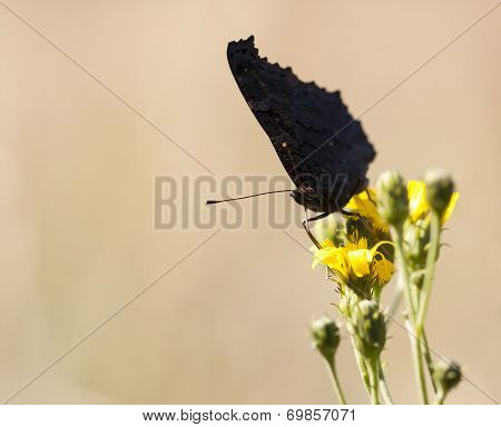 Big Black Butterfly On A Yellow Flower