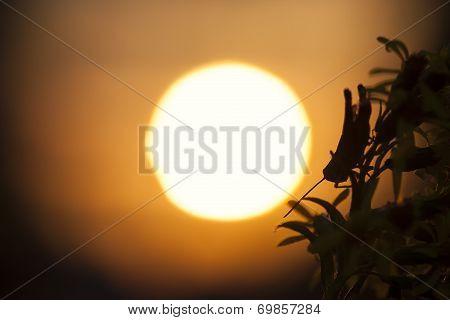 Grasshopper Silhouette In The Sun