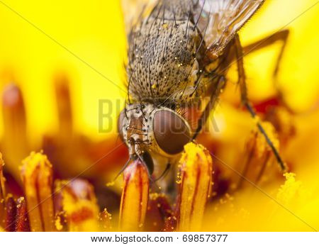 Fly In A Yellow Flower Blossom