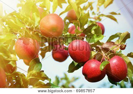 Ripe apples on the tree