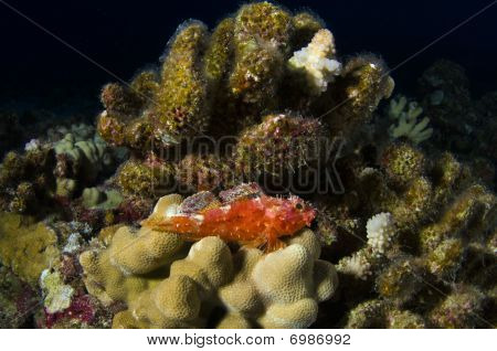 Decoy Scorpion Fish