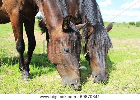 Two horses eat grass
