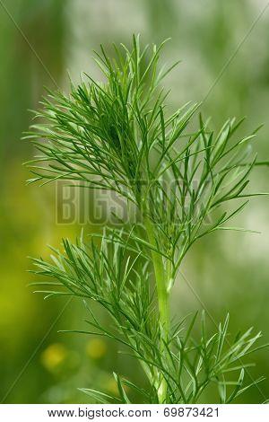Wild fennel, nigella arvensis