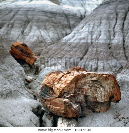 Petrified Wood Fossils