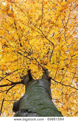 Look Into The Crown Of Beech