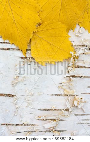background from birch leaves