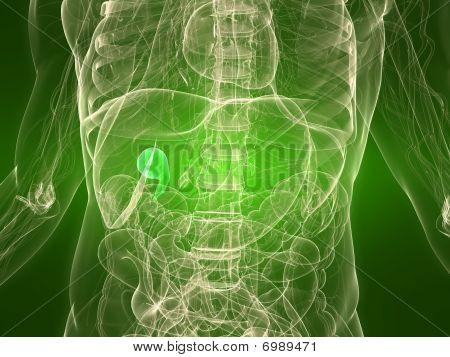 gesunde Gallenblase