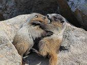 stock photo of marmot  - Two Juvenile Hoary Marmots wrestling in Mount Rainier National Park  - JPG
