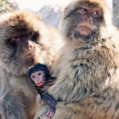 stock photo of macaque  - Family of Barbary Macaques in Gibraltar - JPG
