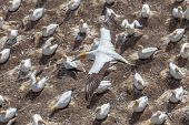 picture of gannet  - The Austalasian Gannet Flying Above Gannet Colony at Muriwai Beach Auckland New Zealand - JPG