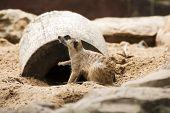 stock photo of meerkats  - Meerkat sitting and looking something in the garden - JPG