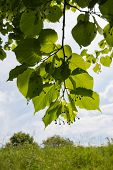 stock photo of linden-tree  - Overhanging branches of a large-leaved linden or Tilia platyphyllos tree with almost translucent leaves against the sky.