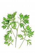 foto of absinthe  - Small branch with fresh green leaves of wormwood  - JPG