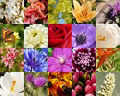 foto of windflowers  - flowers macro collection - JPG