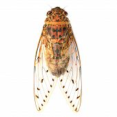 stock photo of cricket insect  - cicada insect isolated on a white background - JPG