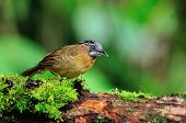picture of babbler  - Beautiful brown bird Grey-throated Babbler bird of Thailand
