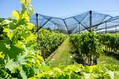 pic of hail  - Vineyard with modern system for irrigation and nets against hail - JPG
