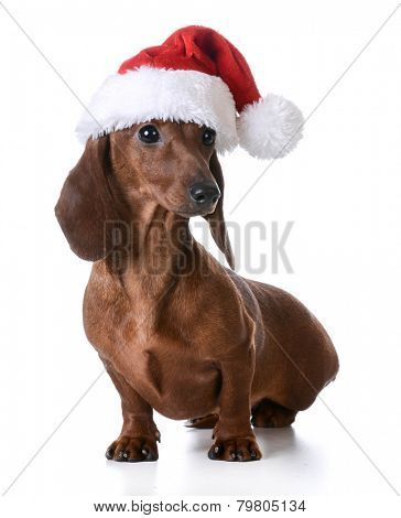 christmas dog - miniature dachshund wearing santa hat on white background