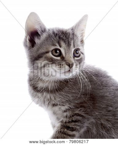 Portrait Of A Gray Kitten.