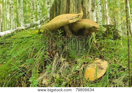 Mushrooms Aspen