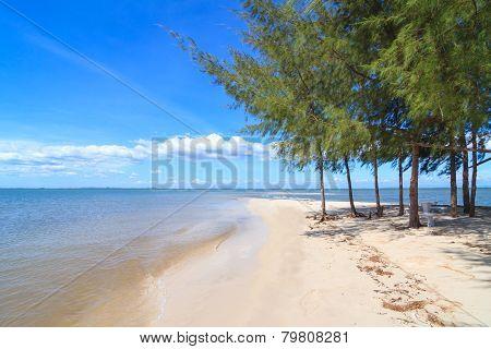 Pines on Laem klat beach in Trat province, Thailand