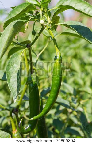 Green chilies in the farm