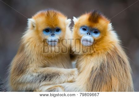 Two golden Monkeys hug together