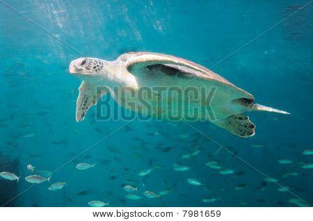 Die Meeresschildkröten