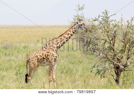 Youbg Giraffe Eating From A Tree