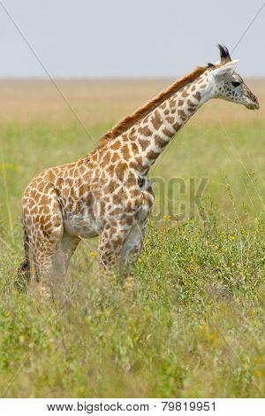 Young Giraffe In The Grass