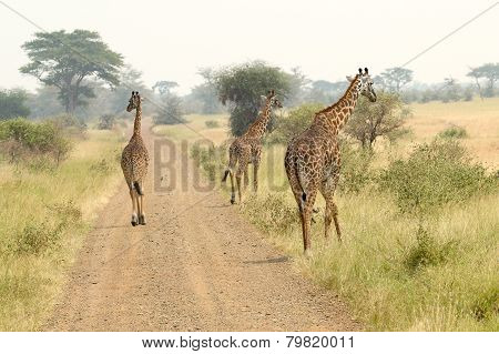 Giraffes Along The Road