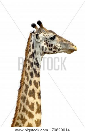 A Tall Giraffe On White Background