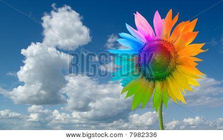 Sunflower - a rainbow