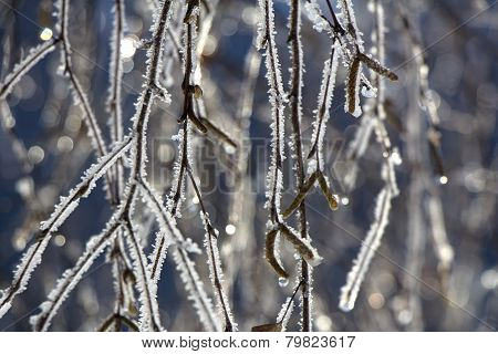 Frosted Birch Branches