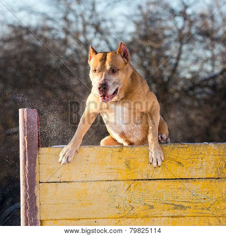 American Pit Bull Terrier Jumps Over Hurdle