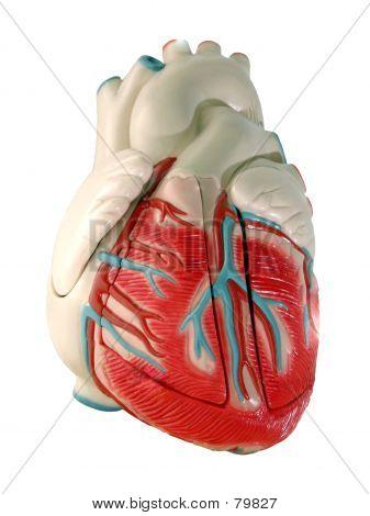 Modelo del corazón humano