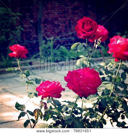 Rose Bush - Vintage Effect.