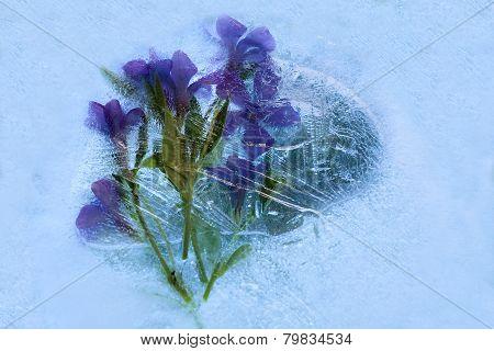 Frozen   Flower Of         Phlox