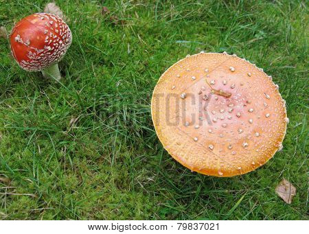 The red or orange hood of a fly agaric