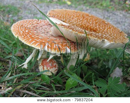 The gills of a fly agaric