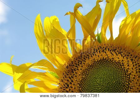 Sunflower against the sky.