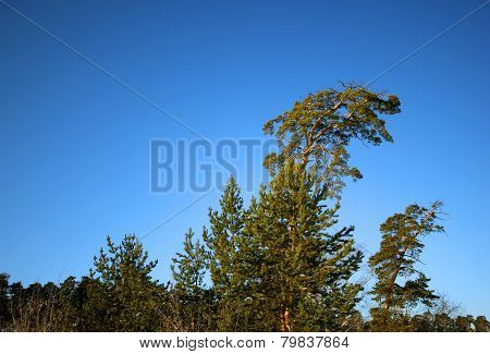 Lonely Pine In The Siberian Taiga