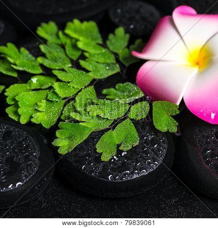 Beautiful Spa Concept Of Green Branch Adiantum Fern, Plumeria Flower With Drops On Zen Basalt Stones
