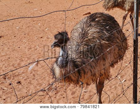 Emu on the red earth of Australia
