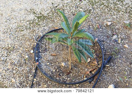 Young sapling tree