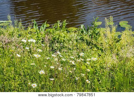 Oxeye Daisies On The Waterfront