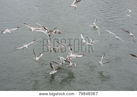 many seagulls fighting for the food