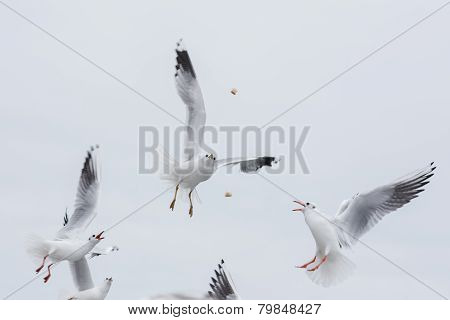 seagulls fighting for the food