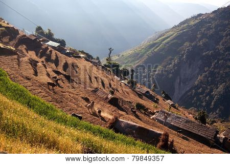 Rice Field Terraces In Central Nepa